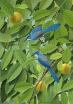 Florida Scrub Jays on Citrus